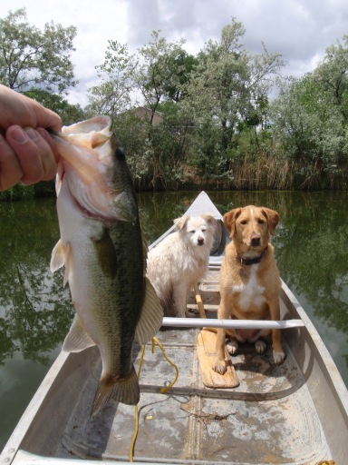 un pescado de ben, mientras dos perros vigilar
