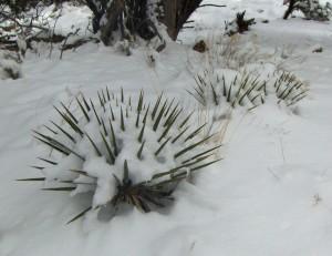 close snow yucca