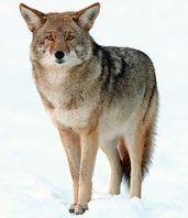 2009-Coyote-Yosemite[1]