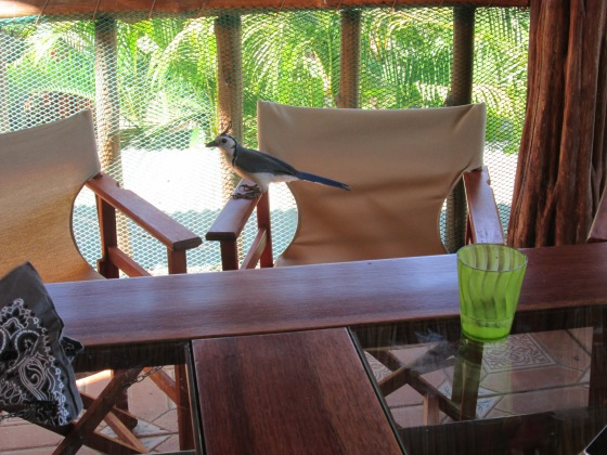 the magpie jays were continual 'guests' (or were we?)